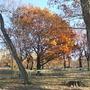 Giant Oak in Riverside Park
