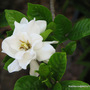 End-of-Spring in N.E. Downunder - Gardenia blooming