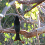 End-of-Spring in N.E. Downunder - Spangled Drongo is singing