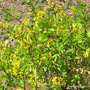 End-of-Spring in N.E. Downunder - Galphimia glauca covered in golden yellow flowers