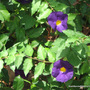 End-of-Spring in N.E. Downunder - Thunbergia erecta 'Tru Blu' blooming