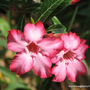 End-of-Spring in N.E. Downunder - Adenium obesum blooming