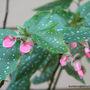 End-of-Spring in N.E. Downunder - Angelwing Begonia blooming