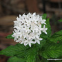 End-of-Spring in N.E. Downunder - Pentas lanceolata is blooming