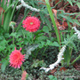 End-of-Spring in N.E. Downunder - double Gerbera and Salvia leucantha 'White Velour' blooming