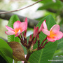 End-of-Spring in N.E. Downunder - Plumeria blooming