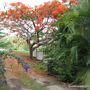 End-of-Spring in N.E. Downunder - fabulous colour at the front gates ... Delonix regia and Duranta repens