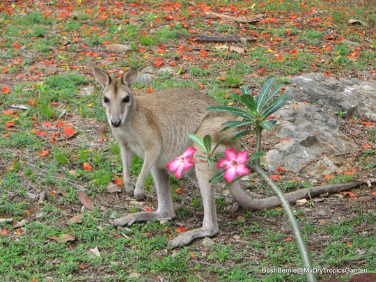 End-of-Spring in N.E. Downunder - garden visitor enjoying the flush of new grass that has sprung up with the rain (mother Agile Wallaby)