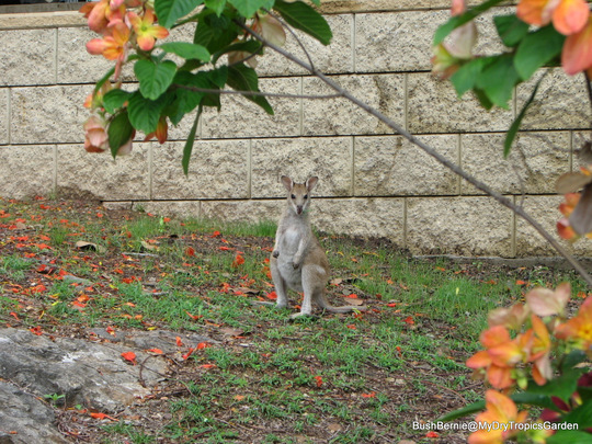 End-of-Spring in N.E. Downunder - Agile Wallaby joey enjoying the new grass growth