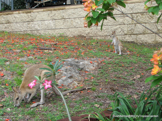 End-of-Spring in N.E. Downunder - favourite garden visitors ... Agile Wallaby mother and her joey