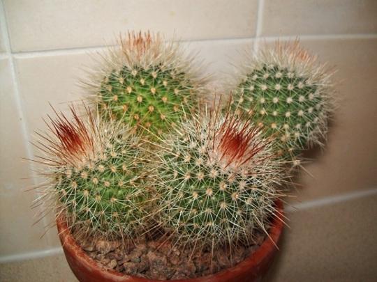 Mammillaria (spp n.k.)