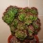 41a_cereus_peruvianus_monstrosa