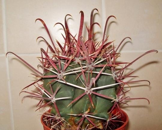 Ferocactus santa maria
