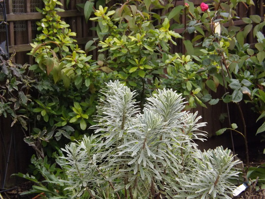 Euphorbia characias Silver Swan (Euphorbia characias (Spurge))