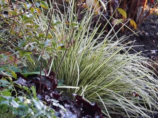 Carex Evergold (Carex 'Evergold')