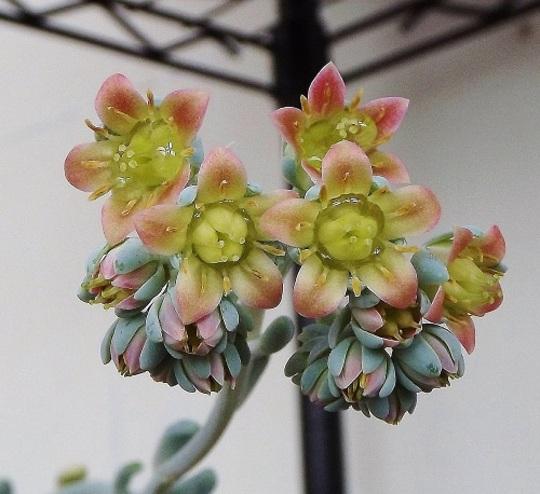 Pachyphytum clavifolia flowers