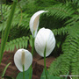 First day of Summer in N.E. Downunder - Spathiphyllum are blooming