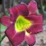 First Day of Summer in N.E. Downunder - still only one Hemerocallis blooming in the garden bed