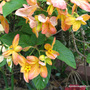 First Day of Summer in N.E. Downunder - Mussaenda 'Calcutta Sunset' in bloom