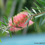 First Day of Summer in N.E. Downunder - my Callistemon 'Pink Champagne' has begun another blooming cycle