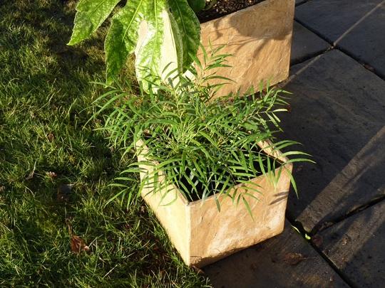 Mahonia eurybracteata 'Soft Caress' (Mahonia eurybracteata)