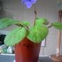 African Violet 'Rupicola' 17-04-2013 (Saintpaulia ionantha)