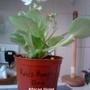 African Violet 'Rob s Humphy Doo' 17-04-2013 (Saintpaulia ionantha)