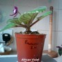 African Violet 'Pow Wow' 17-04-2013