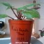 African Violet 'Rob's Vanilla Trail' 17-04-2013
