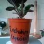 African Violet Mini 'S.vetutina' 17-04-2013