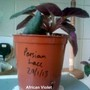 African Violet 'Persian Lace' 17-04-2013