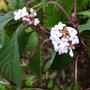 Viburnum farreri 'Nanum' - 2013 (Viburnum farreri 'Nanum')