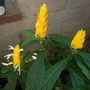 Pachystachys lutea - Golden Shrimp Plant