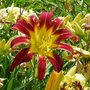 Daylily 'Long Stocking' (Hemerocallis)