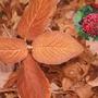 Winter Interest - Viburnum Red Balloon
