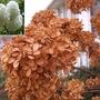 Snowball Bush (Viburnum Opalus) Winter Interest