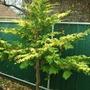 Leyland Cypress - Winter Interest