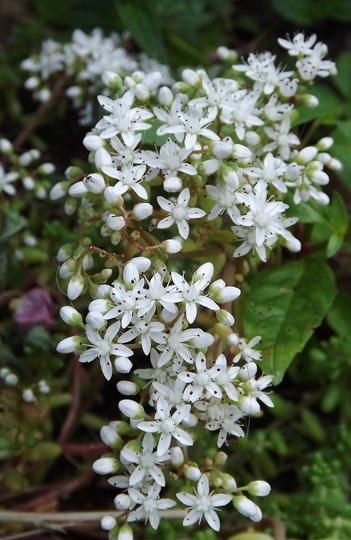 Sedum alba - flowers