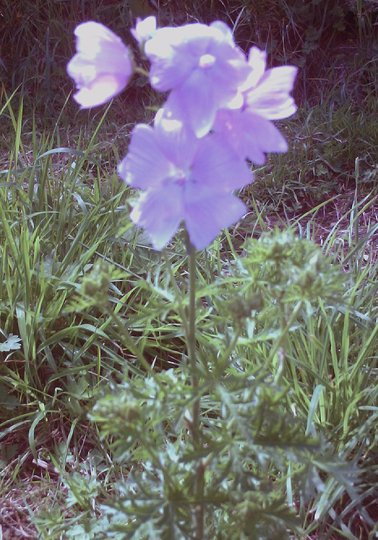 Mallow planted July 2008 (Malva moschata (Malva Almizclada))