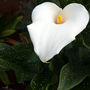 Arum lily.png