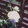 Common Meadow Rue (Thalictrum flavum glaucum)