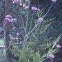 Verbena July 2008 (Verbena bonariensis (Verbena))