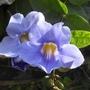 Thunbergia grandiflora (Thunbergia grandiflora)