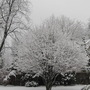 Parrotia tree in winter clothes