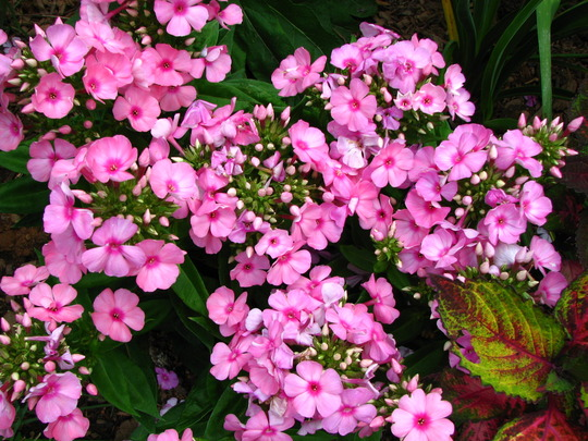 Garden phlox is starting to bloom.I love phlox paniculata, it's spreads through the garden, blooms a long time and thanks to the bees it gets cross pollinated and I have several new colors for free !