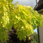 My favourite September tree (Robinia Pseudoacacia)