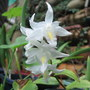 Early Summer in N.E. Oz - Dendrobium crumenatum blooming