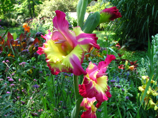 Gladiolus 'dynamite', new gladiola I ordered this spring,  I'm so thrilled with the color !