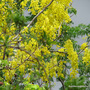 Early Summer in N.E. Oz - Cassia fistula or Golden Showers is blooming