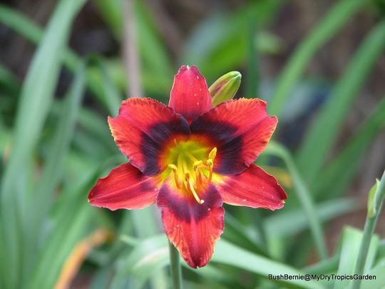 Early Summer in N.E. Oz - Hemerocallis 'Velvet Eyes' is flowering